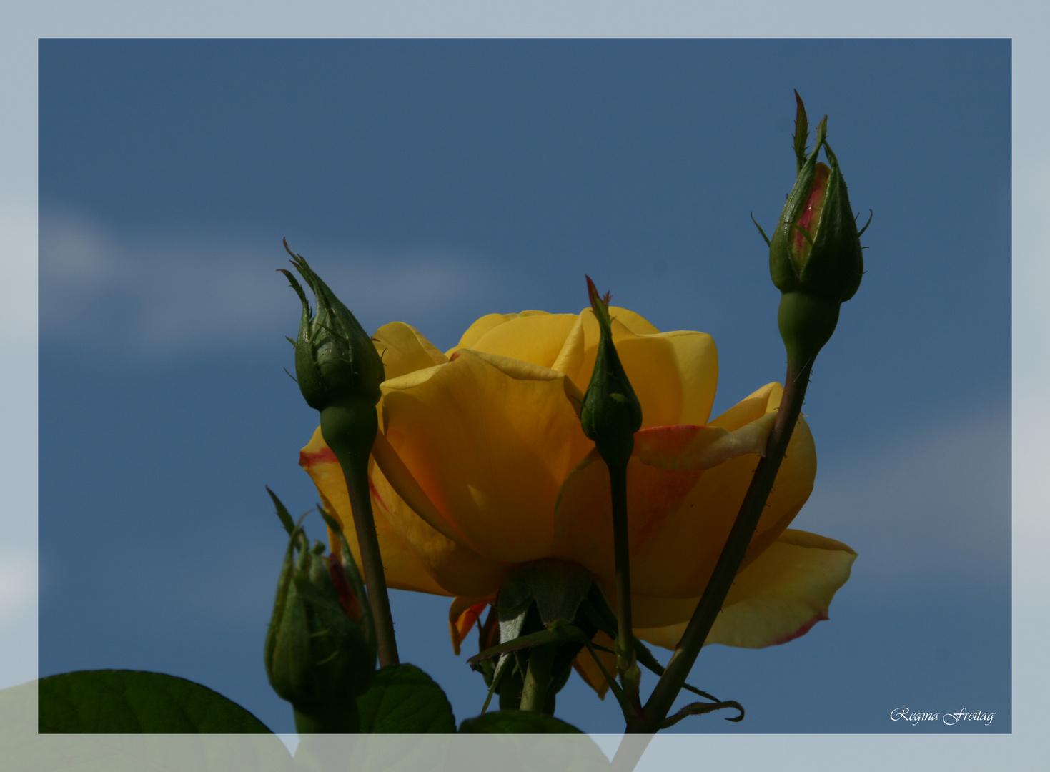 Rose aus Schönbrunn