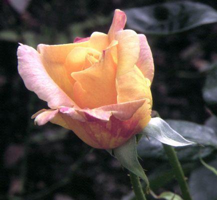 Rose aus unserem Garten