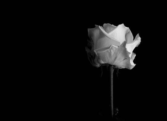 * Rose *