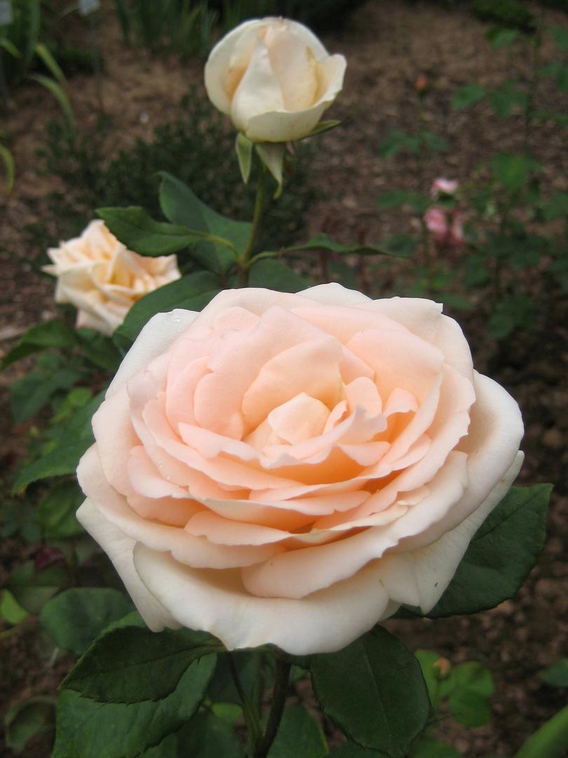 Rose: *Bad Homburg*