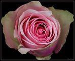 Rose - Bearbeitungsversuch