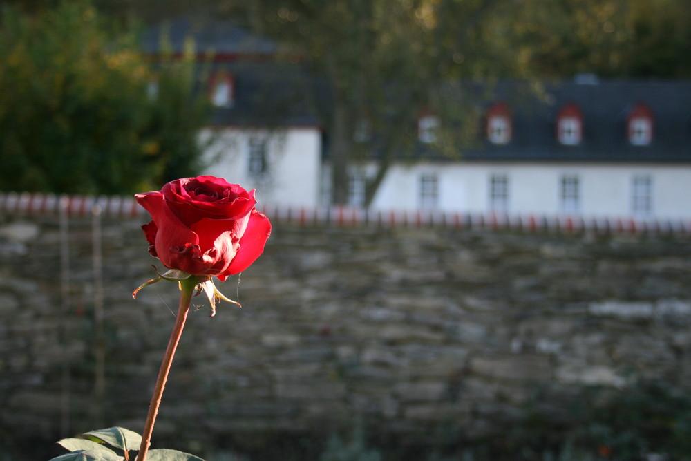 Rose bei Abtei Marienstatt