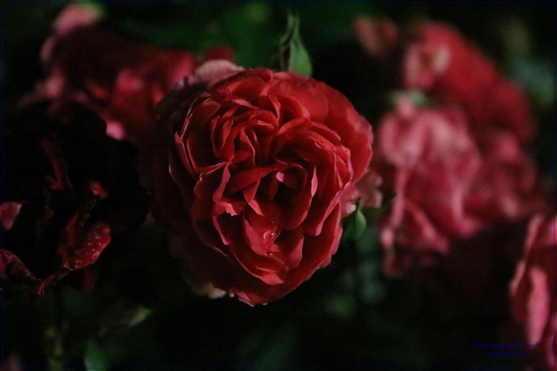 Rose bei Nacht #0086