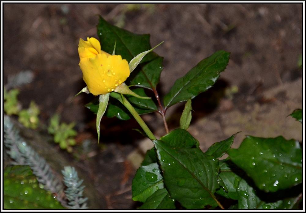 Rose bei Nacht ...