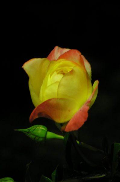 Rose bei Nacht
