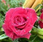 Rose bei uns im garten