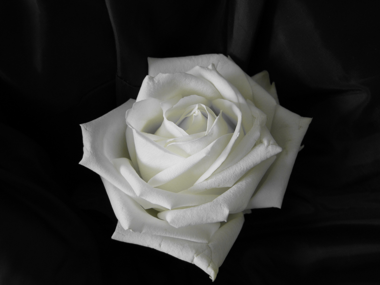 Rose beige noir