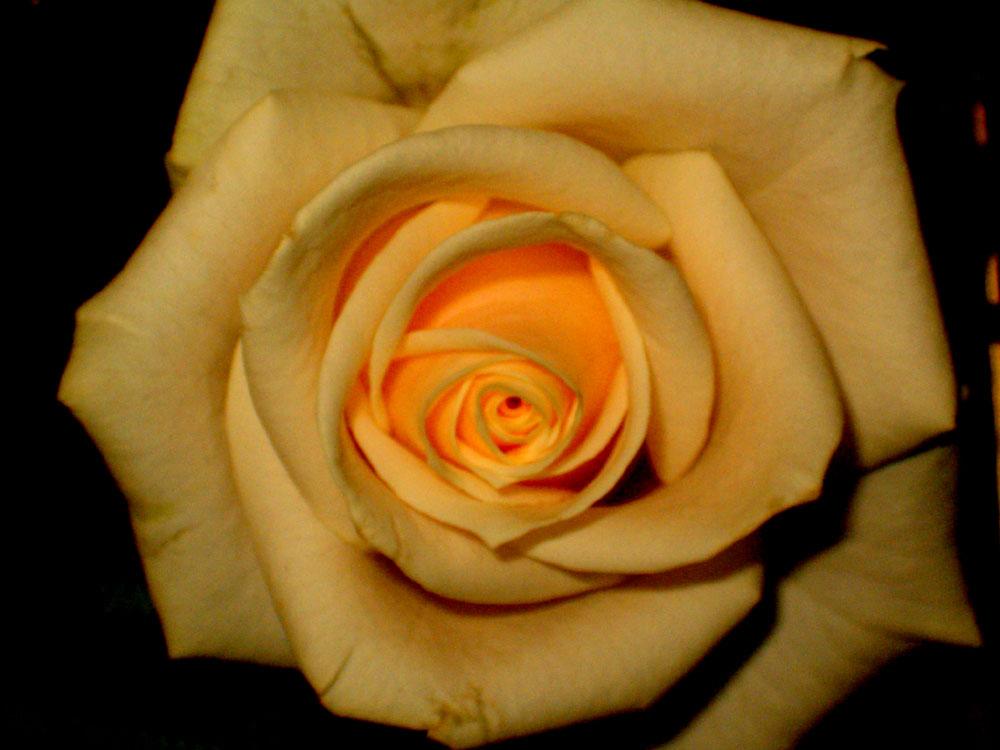 rose beim aufblühen