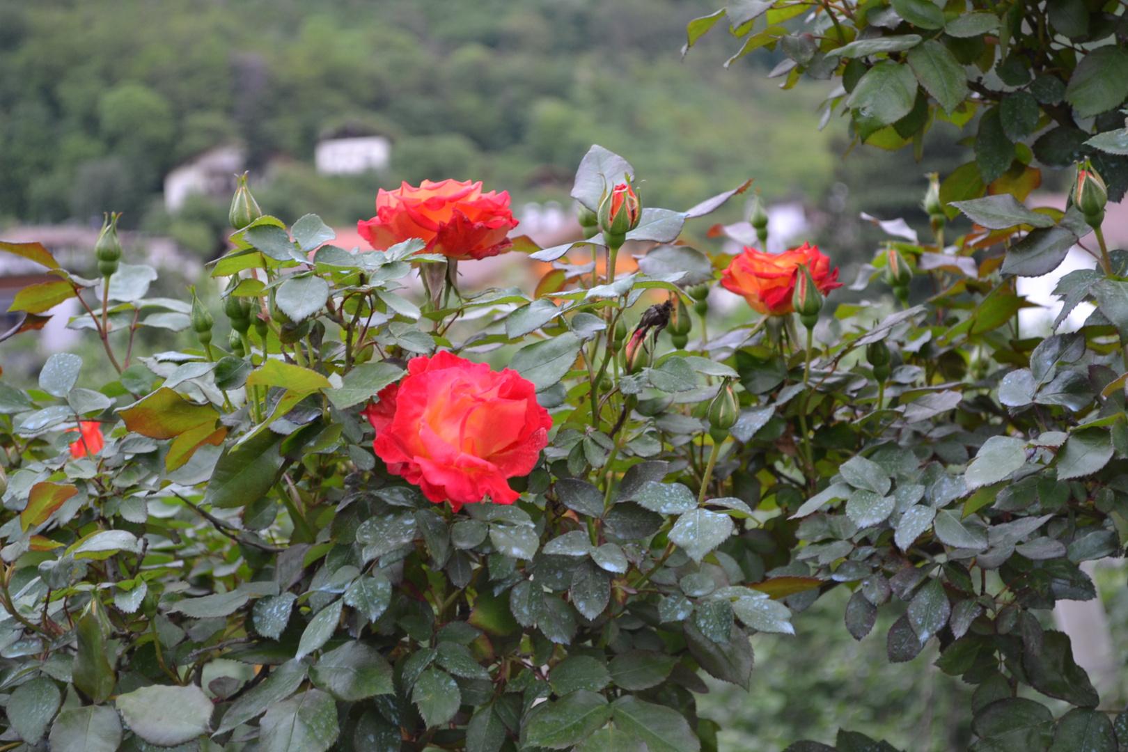 Rose bellissime foto immagini piante fiori e funghi for Foto bellissime