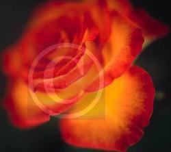 Rose bewegt