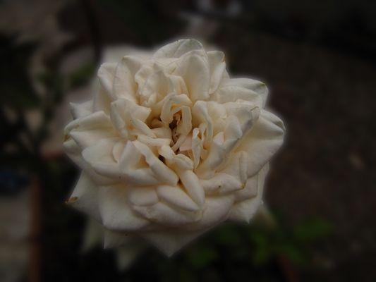 """rose blanche de """"belle-maman"""""""