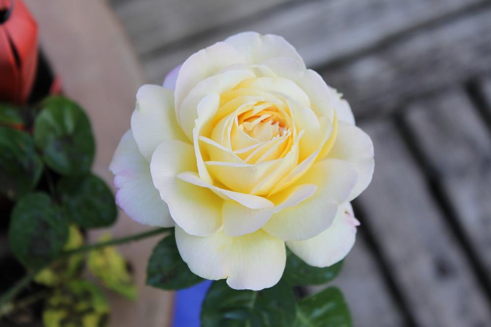 Rose blanche, jardin des parents!