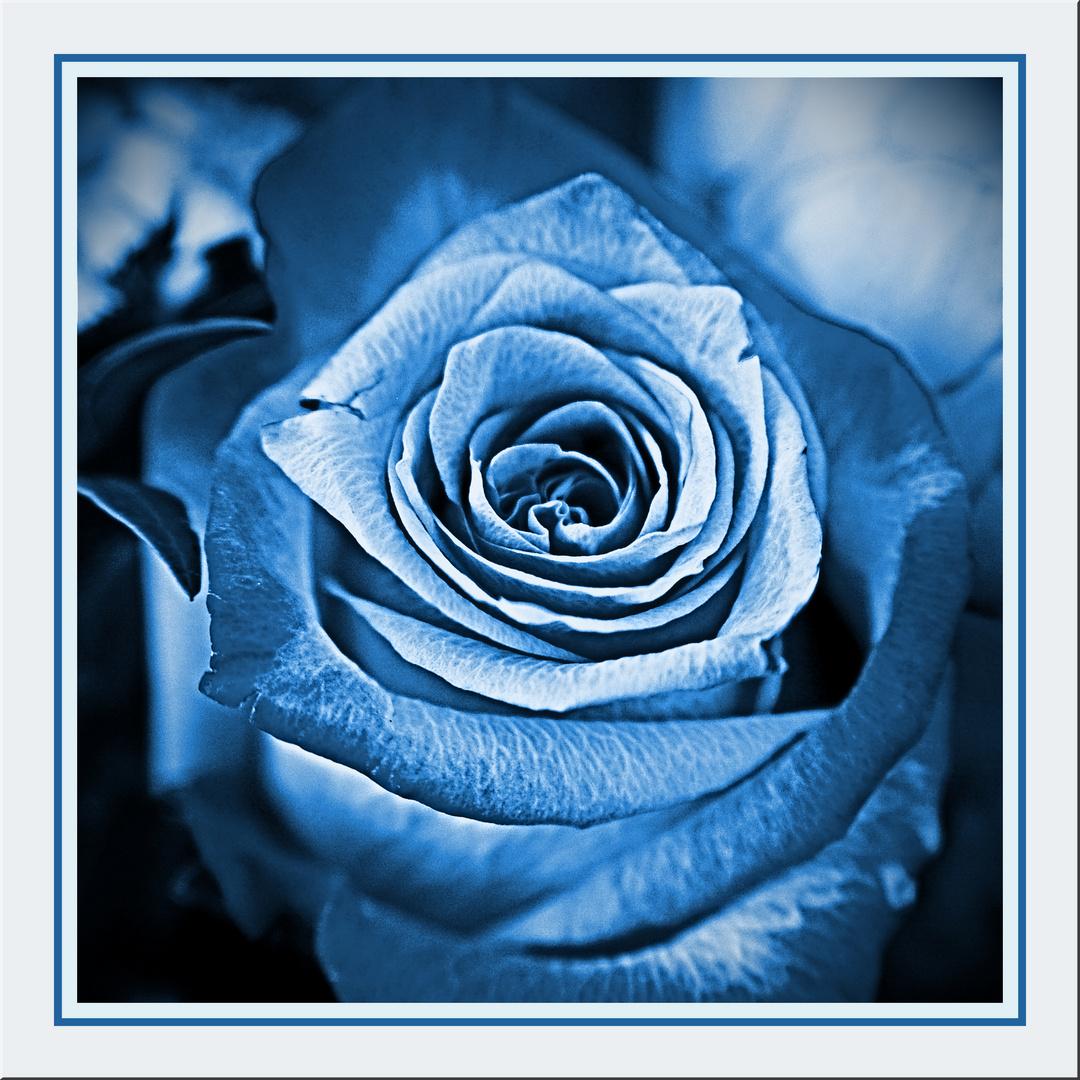 Rose blue, blau
