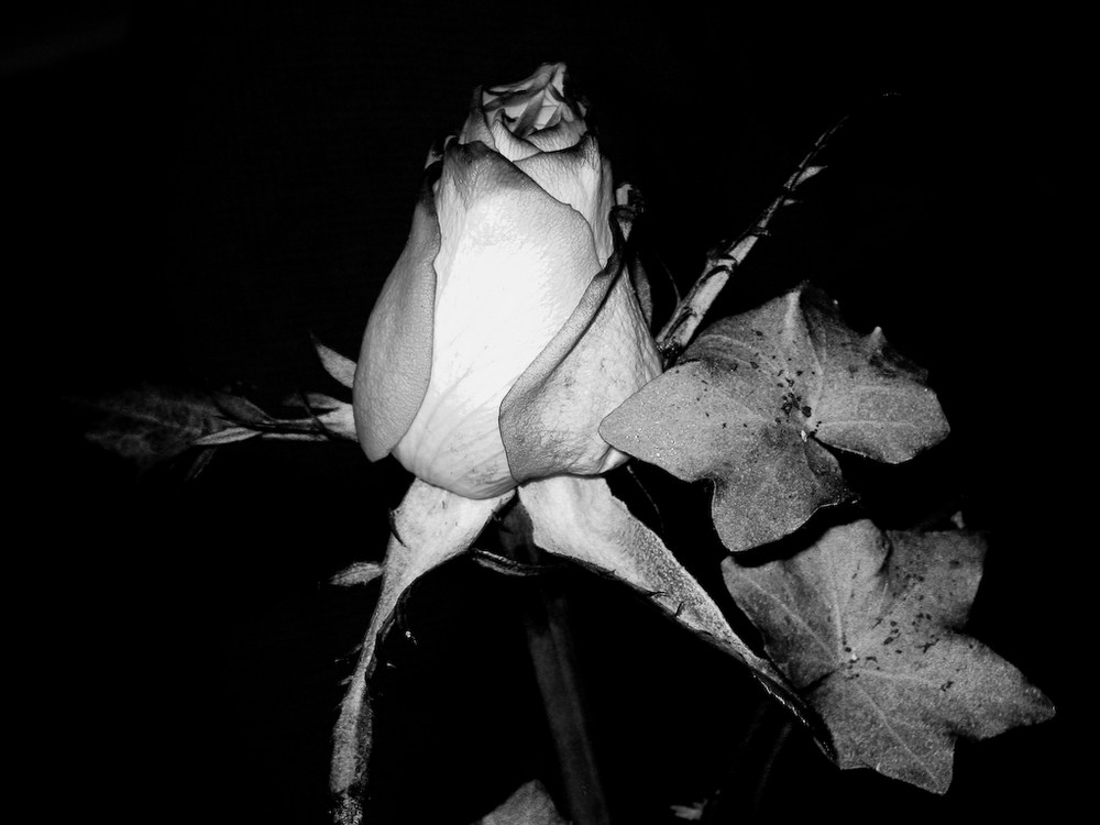 Rose B/W
