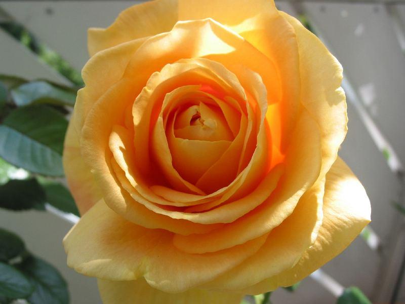 "Rose ""Candelight"""