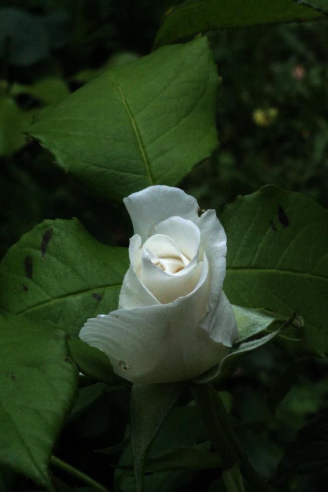 Rose candeur