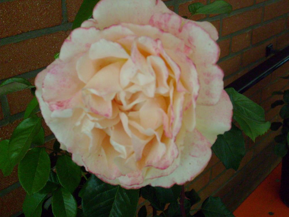 Rosé ^^