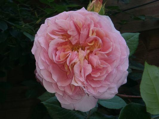 Rose chou !