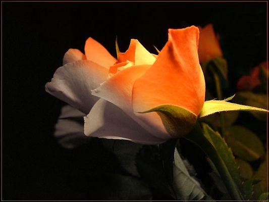 Rose - Color gradient
