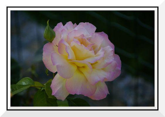 Rose colorée douce