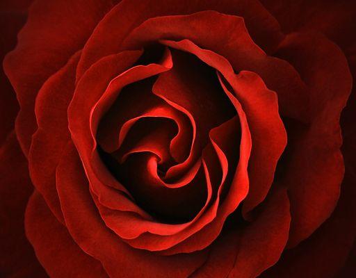Rose comm.