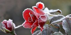 Rose covered with frost
