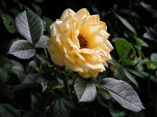 Rose, cremefarben