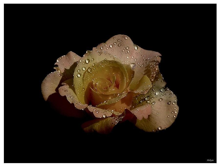 Rose :-D