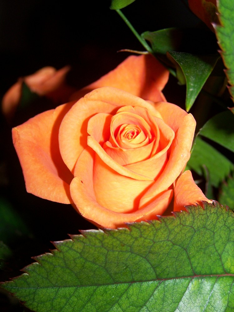 > Rose