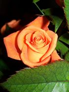 > Rose <