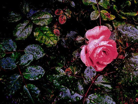 Rose d'automne en pleurs