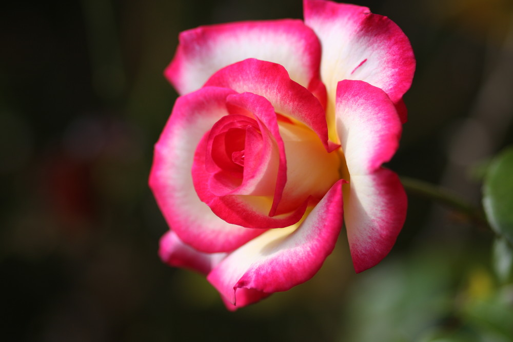 rose de la montagne