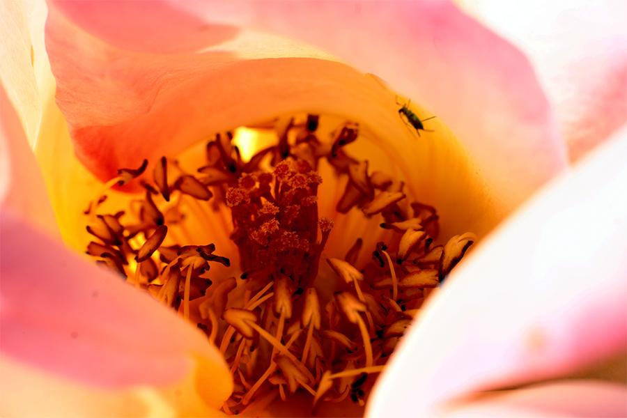 Rose de la vie 1