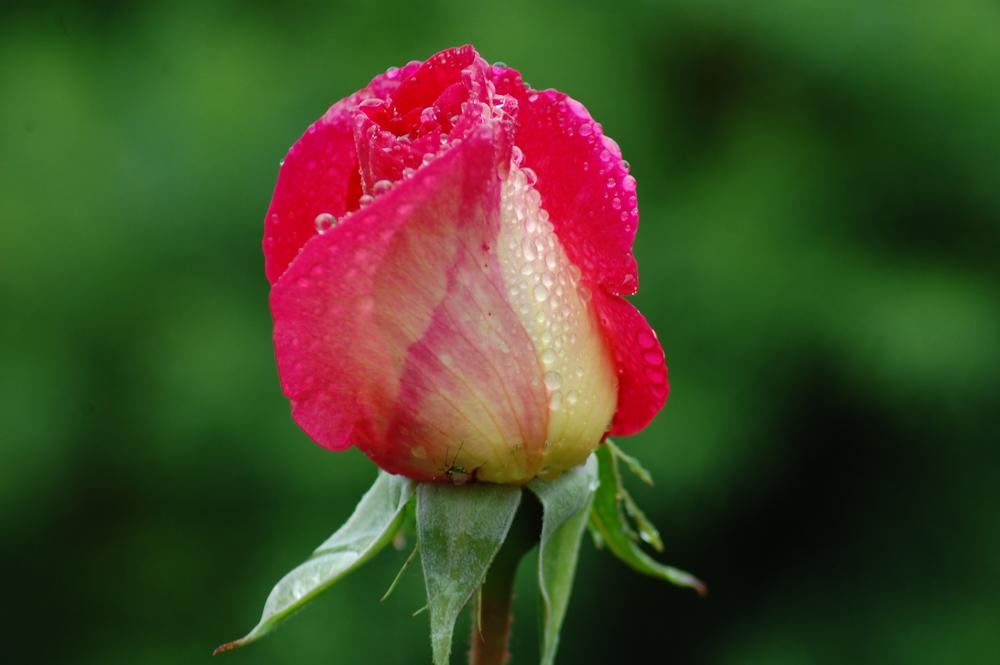 rose de mon jardin 3
