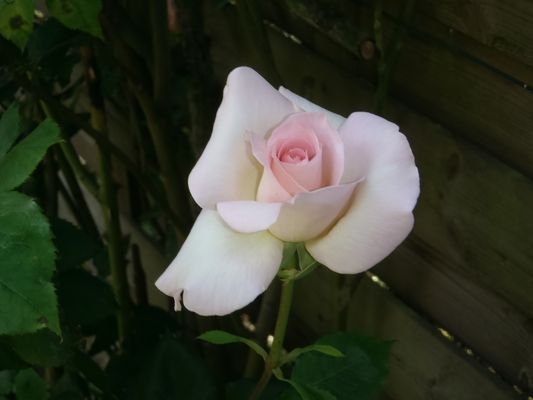 rose de mon petit jardin