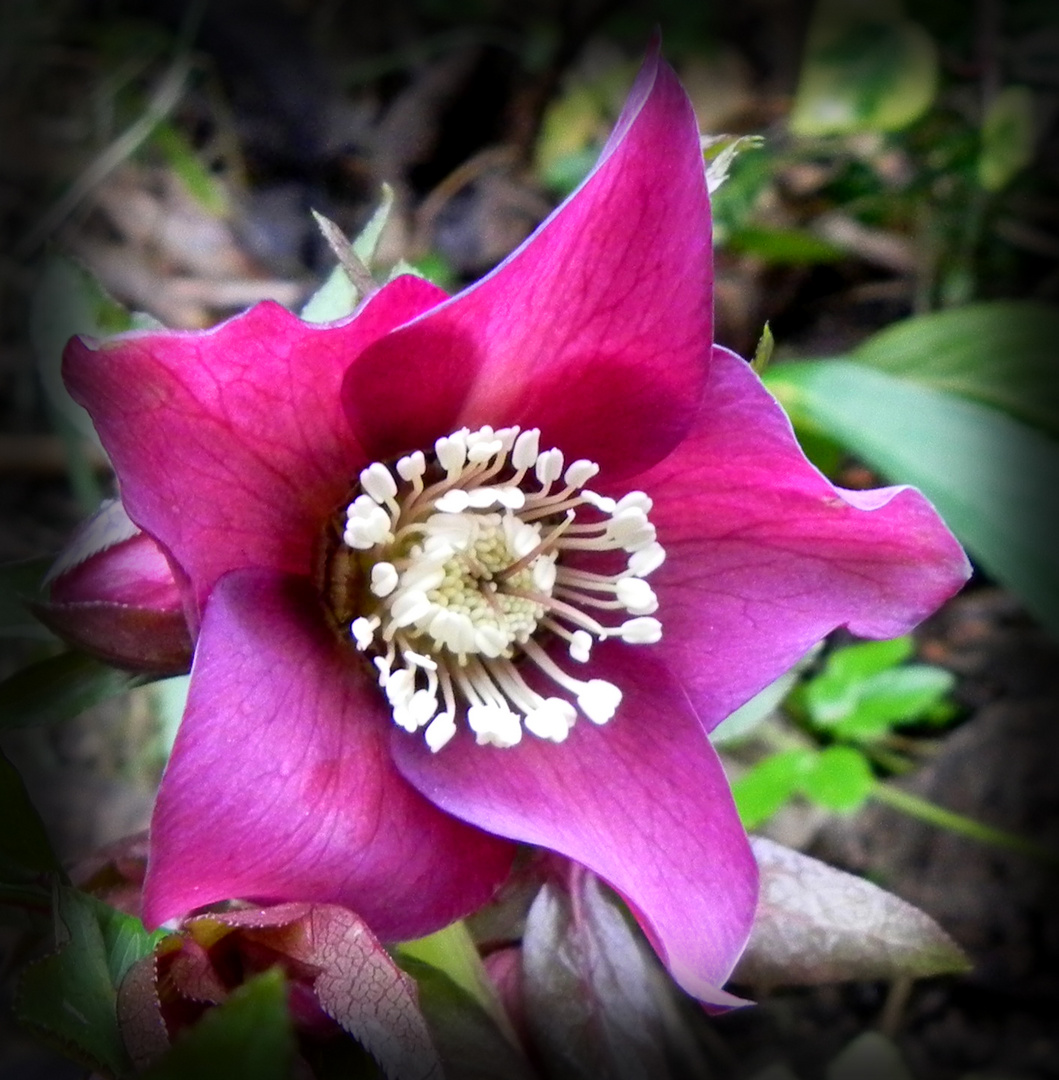 Rose de Noël (Hellébore)