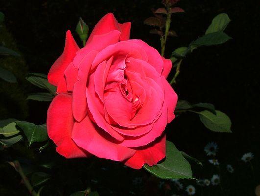 rose de velours
