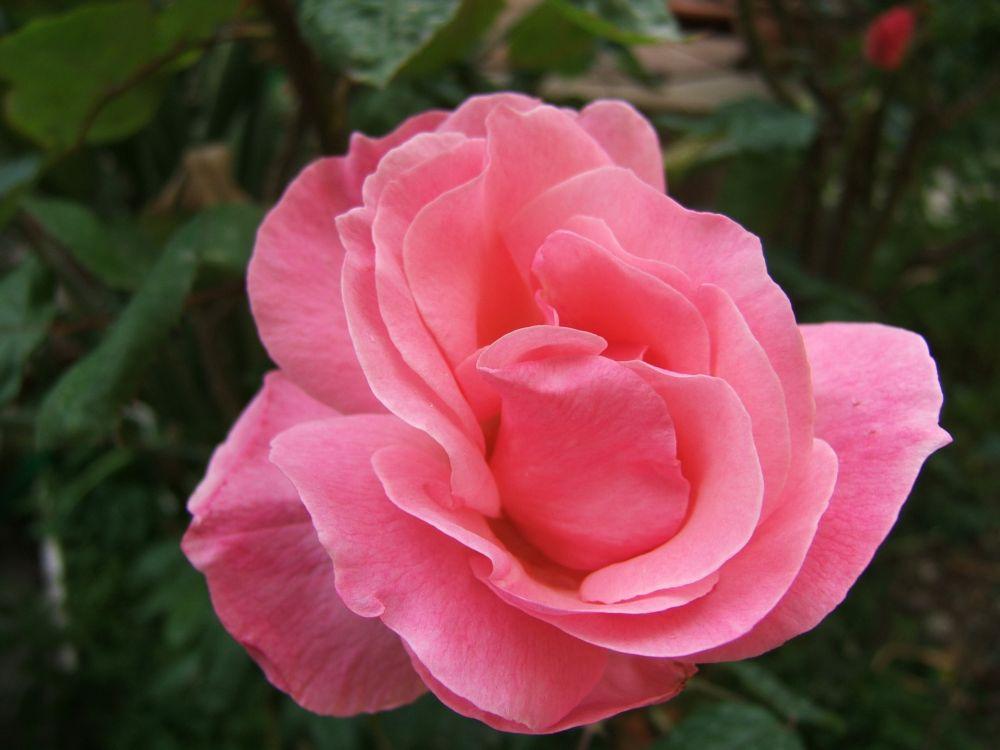 Rose del mio giardino 1