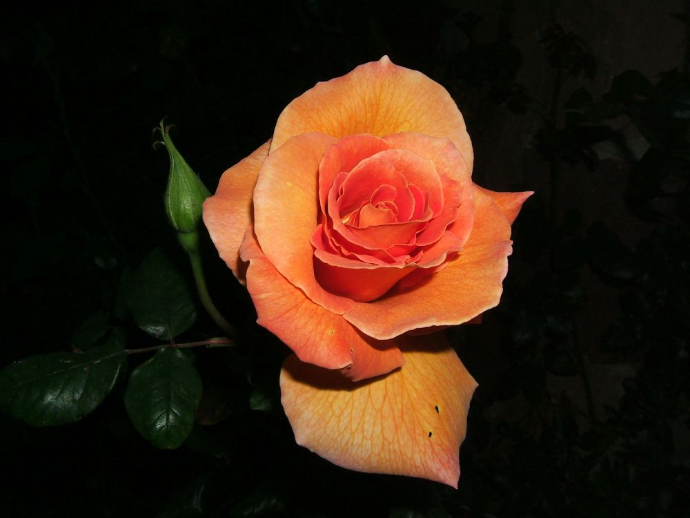 Rose del mio giardino 2