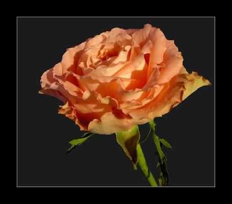 Rose dentelée