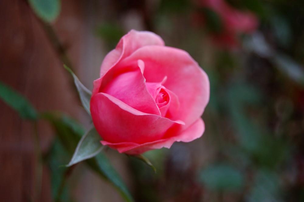 Rose d'entrée.