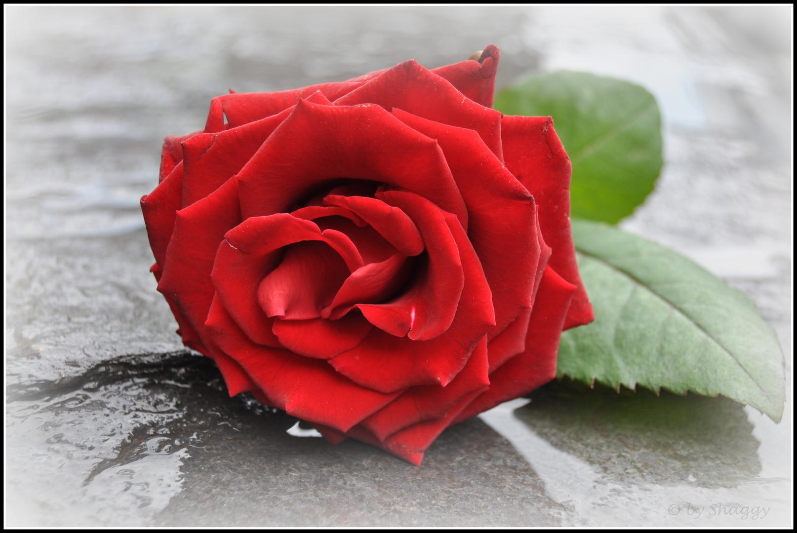 Rose der Erinnrungen