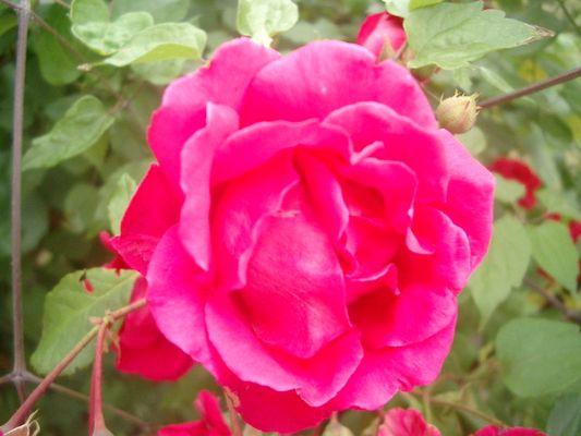Rose der L.....
