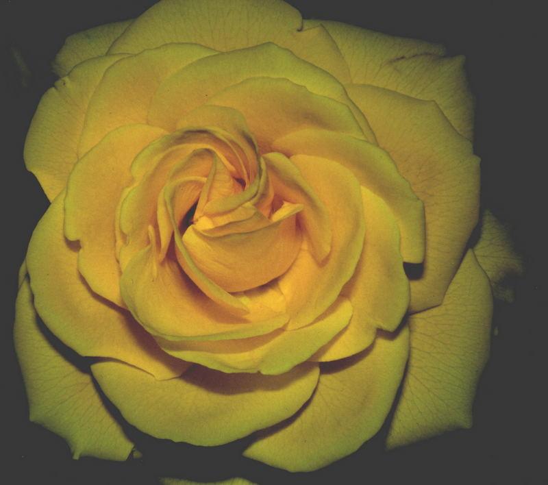 Rose der Nacht