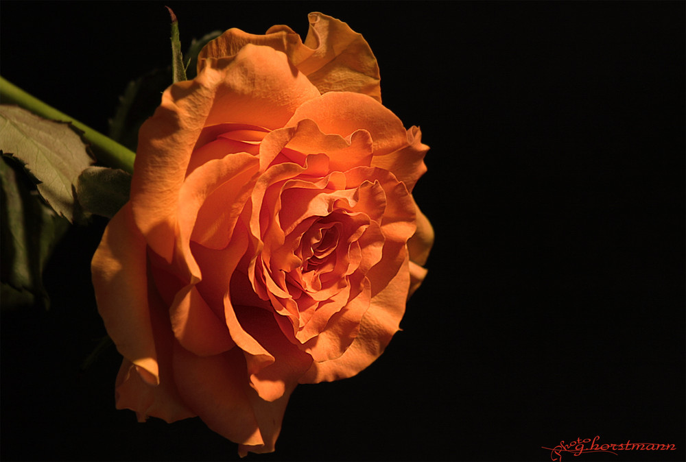 Rose der Nacht...