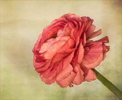 Rose des Frühlings  ~  Gealtert.....
