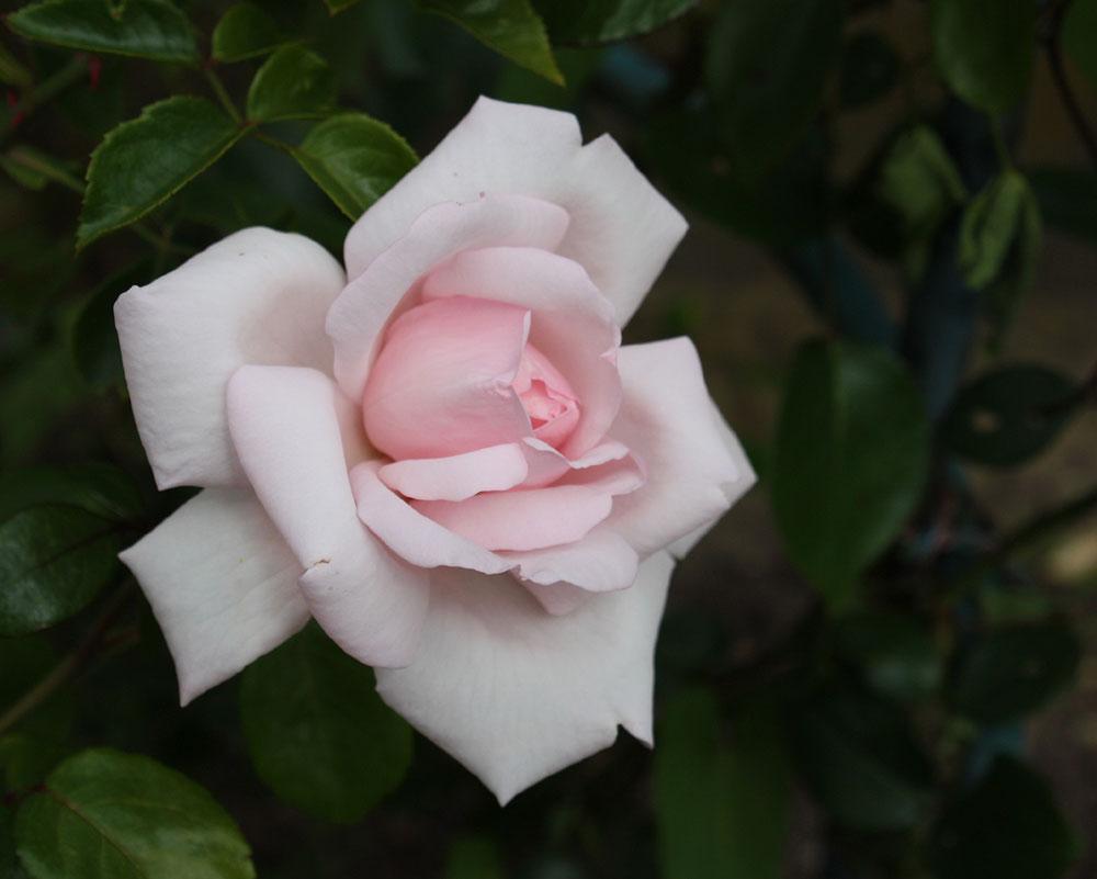 Rose des Lebens
