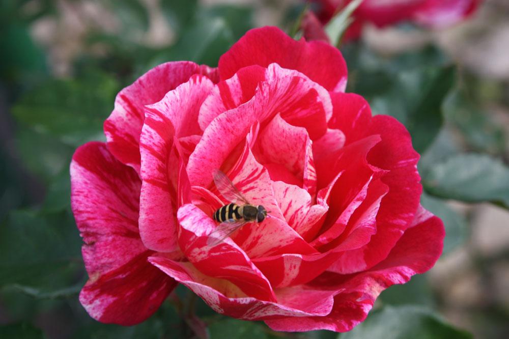 Rose des Monats