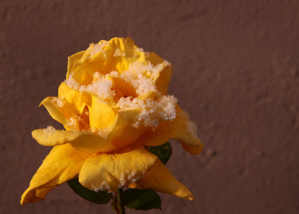 rose des neige!