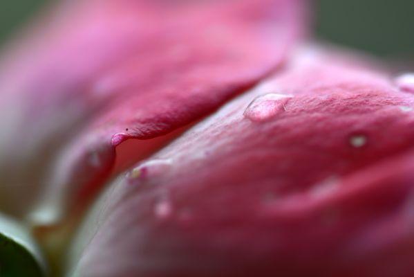 Rose - Detail - 1